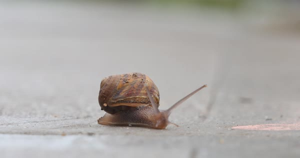 A small snail slowly crawls across a sidewalk.  	 Royalty-free stock video