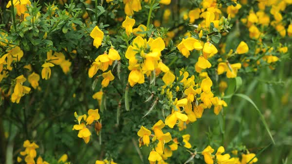 A close up view of a yellow flower on a scotch broom plant stock scotch broom flowers are a pretty yellow color royalty free stock video mightylinksfo