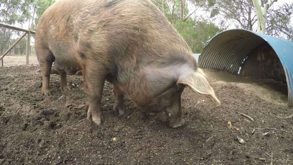 Close-up of a pig feeding in a farm Royalty-free stock video