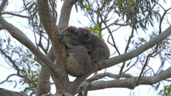 Baby Koala and mother on a eucalyptus tree Royalty-free stock video