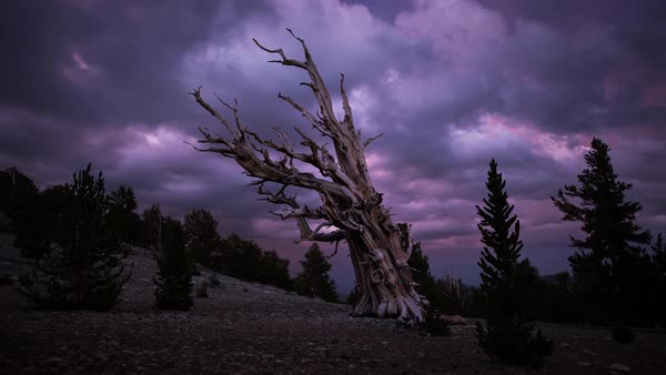 Bristlecone Pine Forest Gnarly Tree Sunset Timelapse Rights-managed stock video