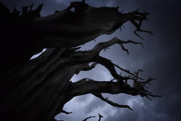 Gnarly Dark Tree Stormy Motion Timelapse Ancient Bristlecone Pine Rights-managed stock video