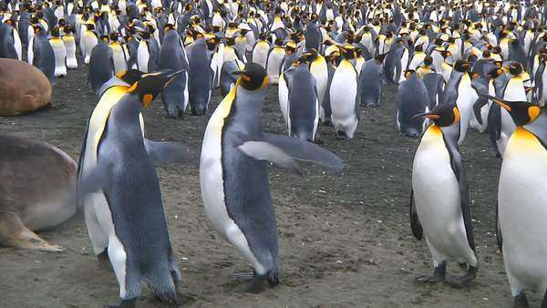 Two  king penguins (Aptenodytes patagonicus) fighting over a mate on Macquarie Island, Australia Rights-managed stock video