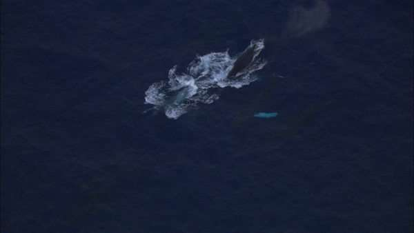Aerial shot of whales swimming in the ocean Royalty-free stock video