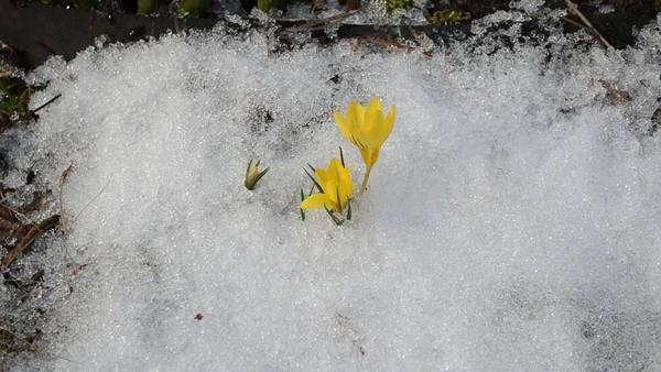 Saffron crocus first spring flower bloom close up between snow move crocus saffron first spring flowers between melting snow yellow blooms royalty free stock mightylinksfo