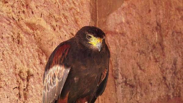 Close-up of bird of prey Royalty-free stock video