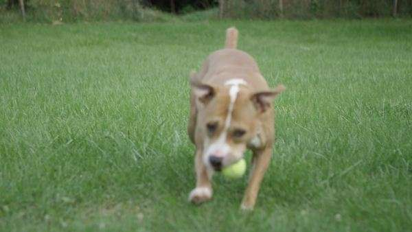 Dog brining owner tennis ball while playing fetch in backyard Royalty-free stock video