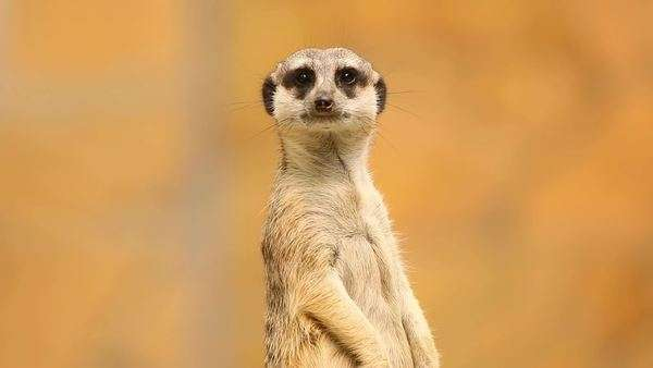 Meerkat looking out for danger and ready to signal an alarm Royalty-free stock video
