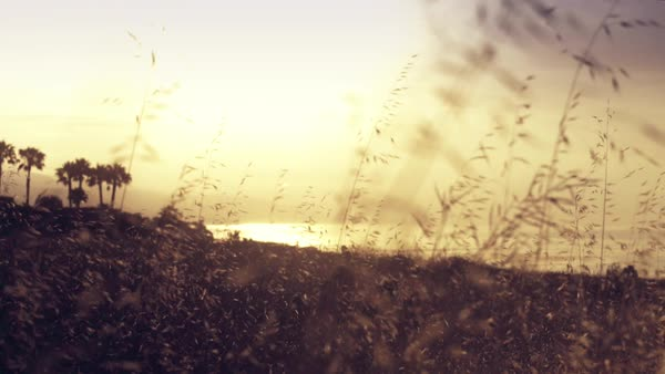 Golden California sunrise slider shot with tall wheat moving in foreground. Royalty-free stock video