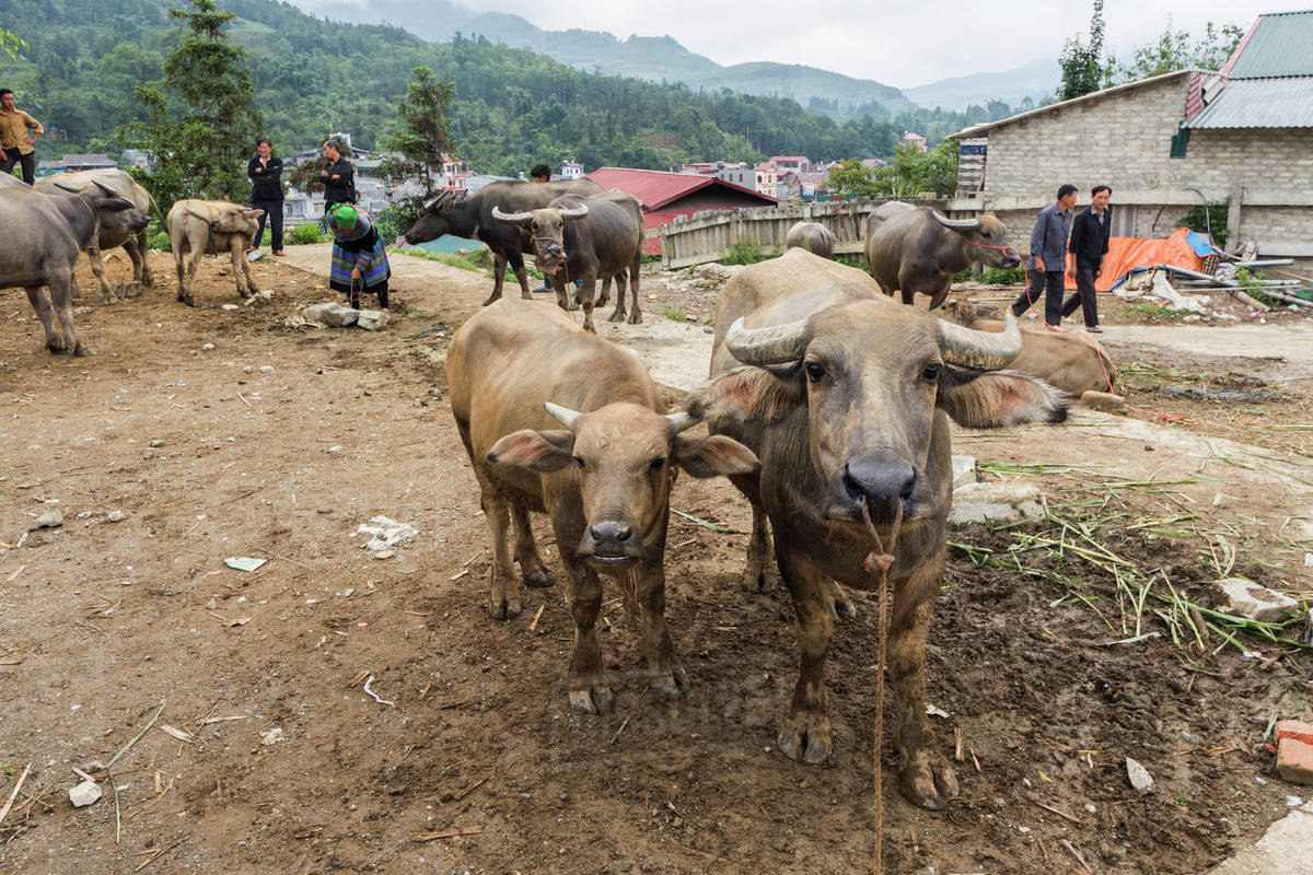 Buffalo For Sale >> Water Buffalo For Sale At The Sunday Market Bac Ha Lao Cai Vietnam Stock Photo