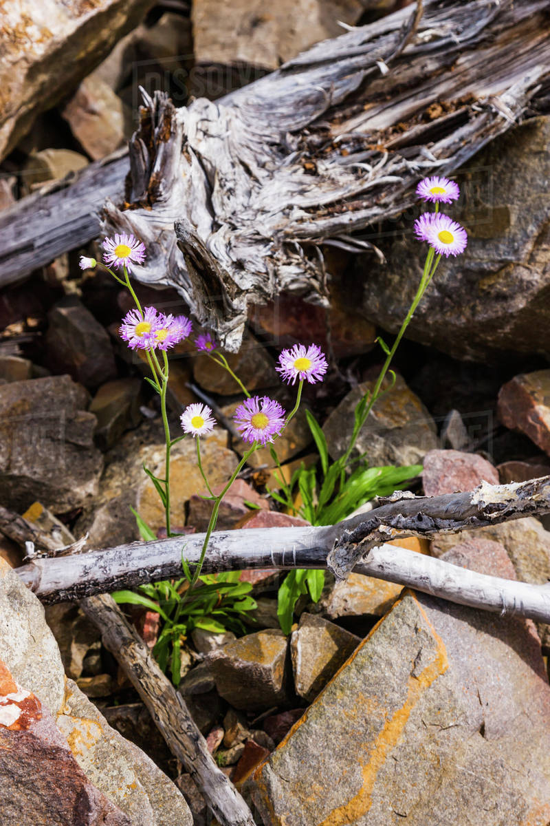 Purple Flowers Growing Among Rocks Along Whirlpool Canyon Liard