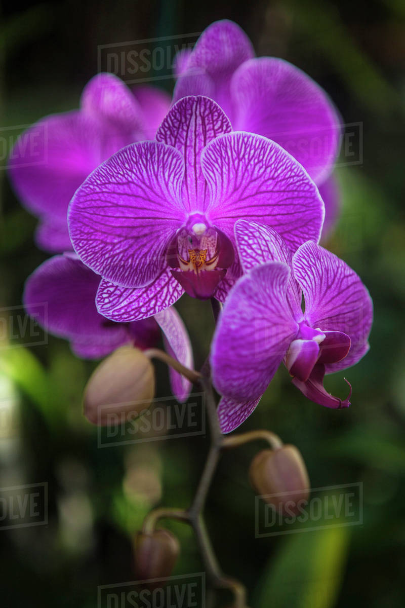 Phalaenopsis Orchids In Bloom Kailua Island Of Hawaii Hawaii