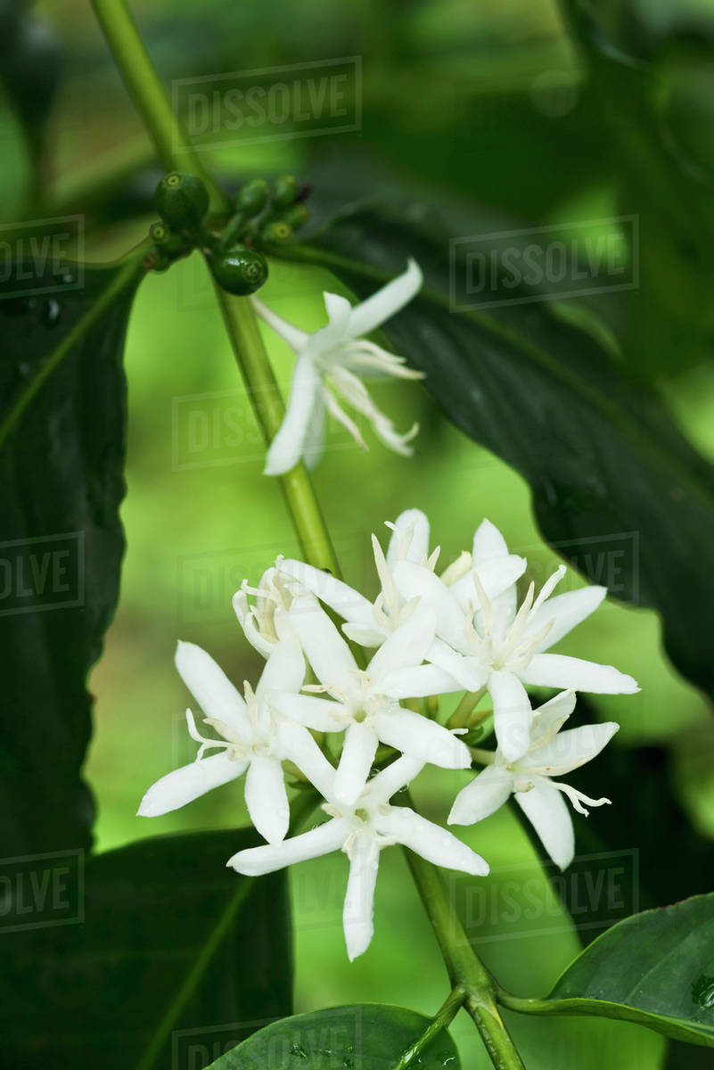 Bloomimg kona coffee flowers holualoa island of hawaii hawaii bloomimg kona coffee flowers holualoa island of hawaii hawaii united states of america izmirmasajfo