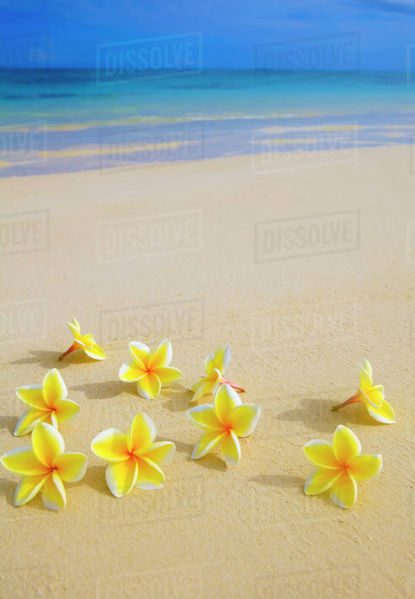 Hawaii Yellow Plumeria Flowers On The Beach