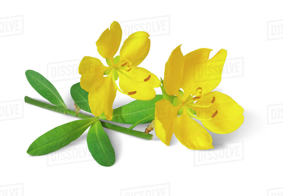 Yellow Flower Blossoms On A Stem With Green Leaves On A White