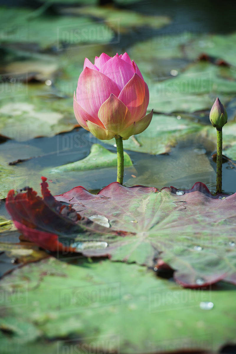 Lotus Flowerschiang Mai Thailand Stock Photo Dissolve
