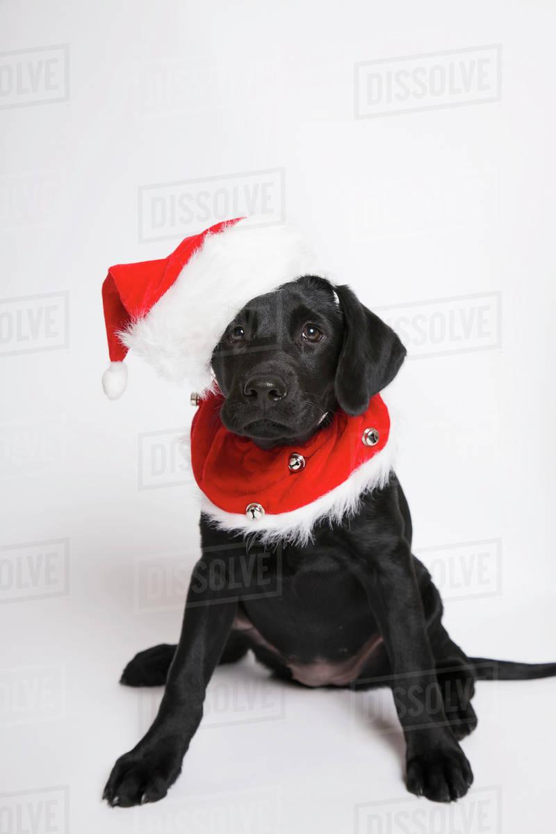 Black Lab Puppy In A Christmas Costumetoronto Ontario Canada