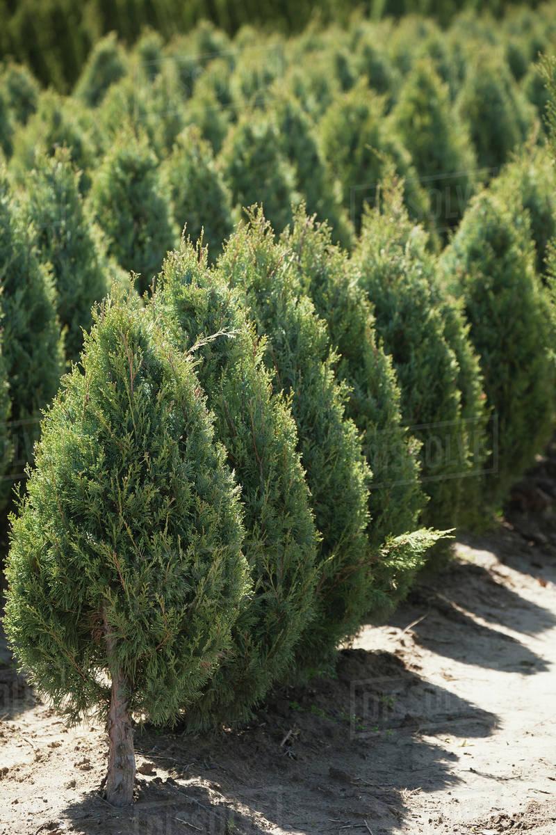 Rows Of Cedar Trees In A Tree Nursery Vineland Ontario Canada
