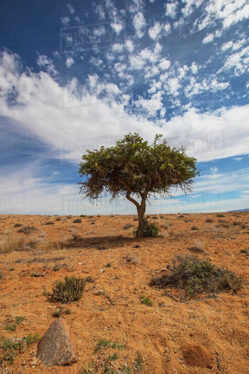 Acacia tree in the desert;Klein-aus vista namibia - Stock Photo ...