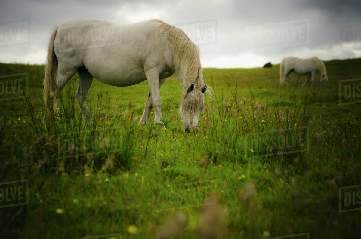 Two White Wild Horses Eating Grass In A Field In Newborough Warren On The Island Of Anglesey Wales Stock Photo Dissolve