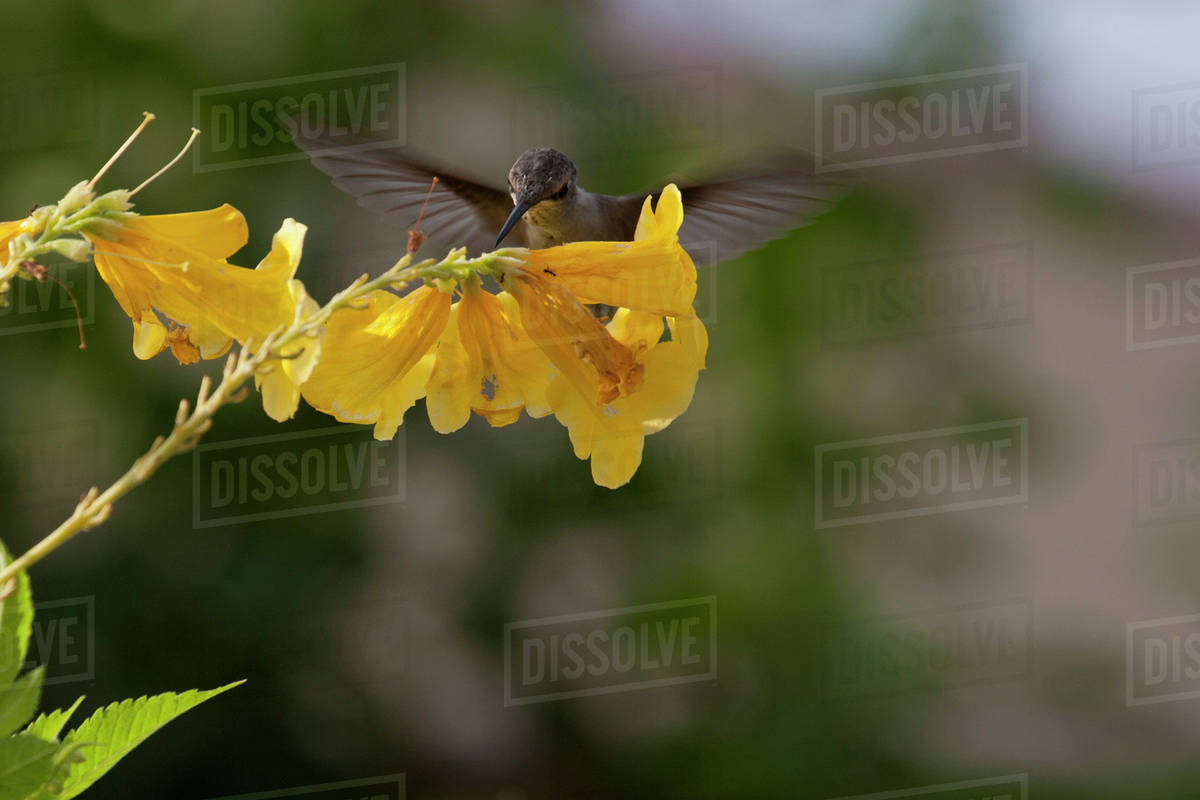Close Up Of Hummingbird On Yellow Flowers Palm Springs California