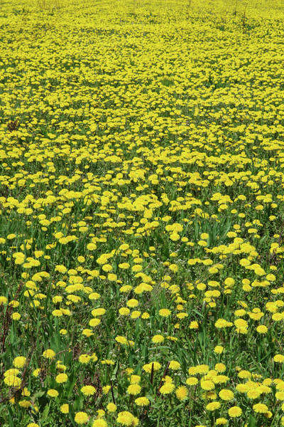 Field Of Dandelions In Full Bloom; Canada, Manitoba, Erickson Royalty-free stock photo