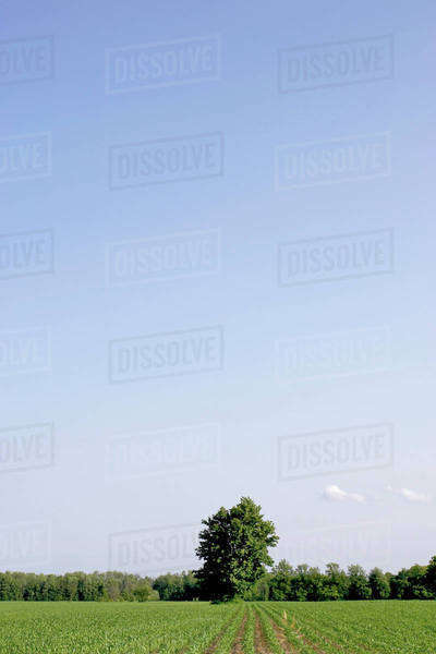 Cornfield Disappearing Into Tree Line And Blue Sky, Flamborough, Ontario. Royalty-free stock photo