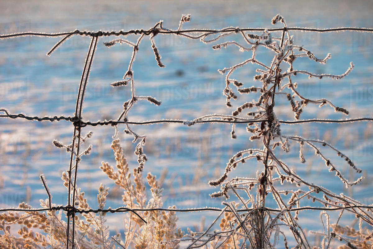 Frozen Plants Along A Barbed Wire Fence In Winter; Parkland County ...