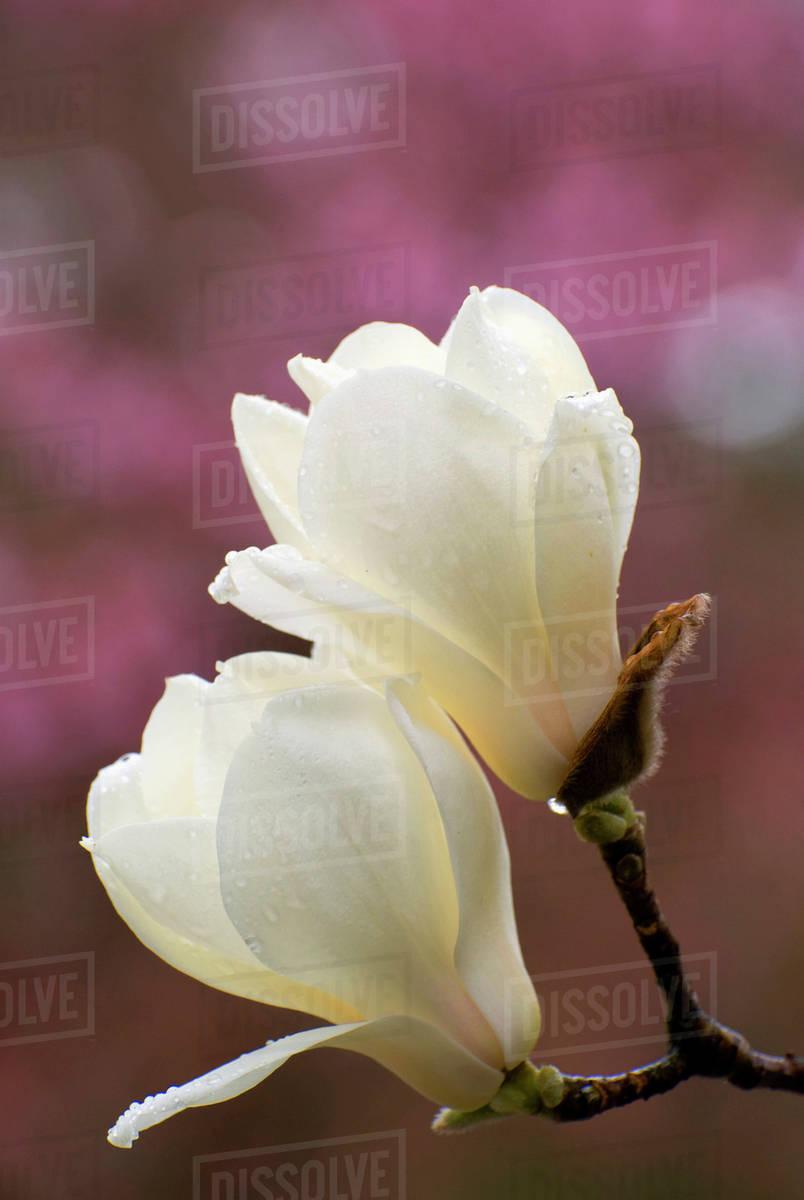 Two Magnolia Flowers With Rain Dropsnara Japan Stock Photo Dissolve