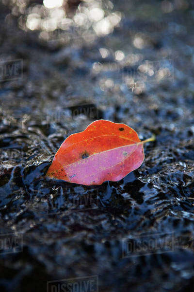 A red leaf on a wet rock;Gold coast queensland australia Royalty-free stock photo