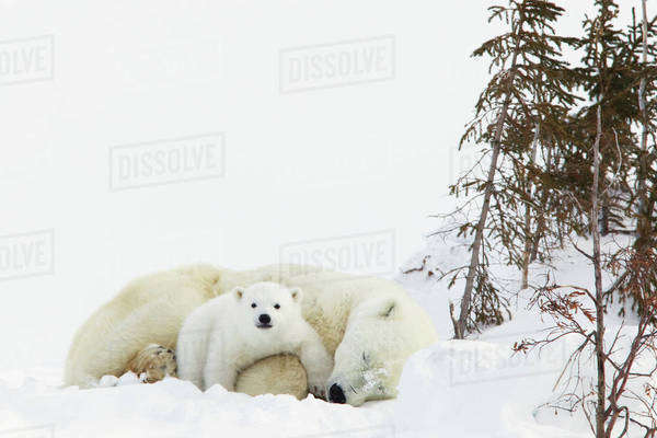 Polar bear (ursus maritimus) cub rests on her mother's legs at wapusk national park;Manitoba canada Royalty-free stock photo