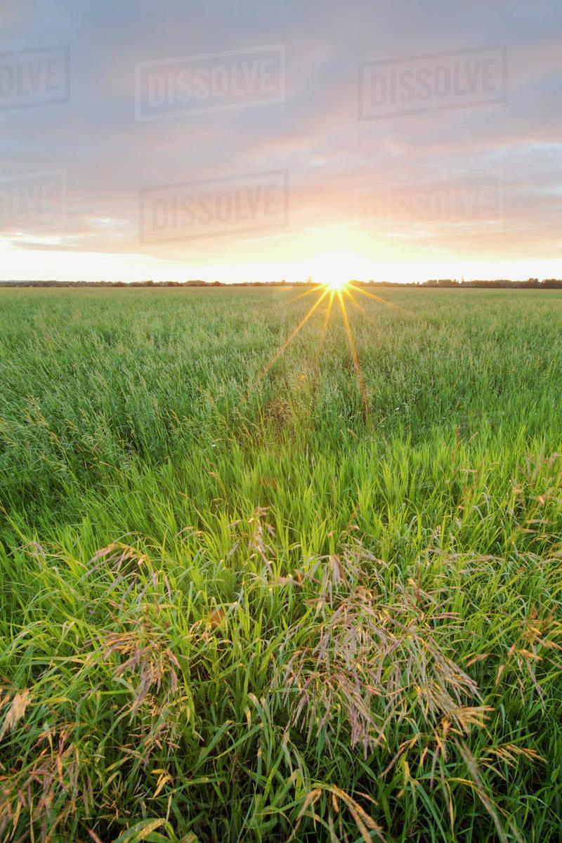 grass field sunrise. Fine Sunrise Sunrise Over Dewy Grass FieldThunder Bay Ontario Canada To Grass Field S