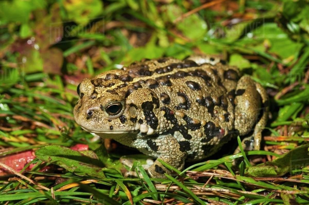 Boreal toad anaxyrus boreas boreas edmonton alberta canada boreal toad anaxyrus boreas boreas edmonton alberta canada sciox Image collections