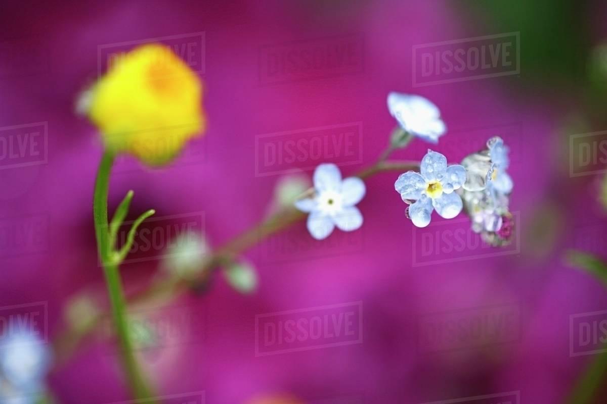 Small blue flowers stock photo dissolve small blue flowers izmirmasajfo