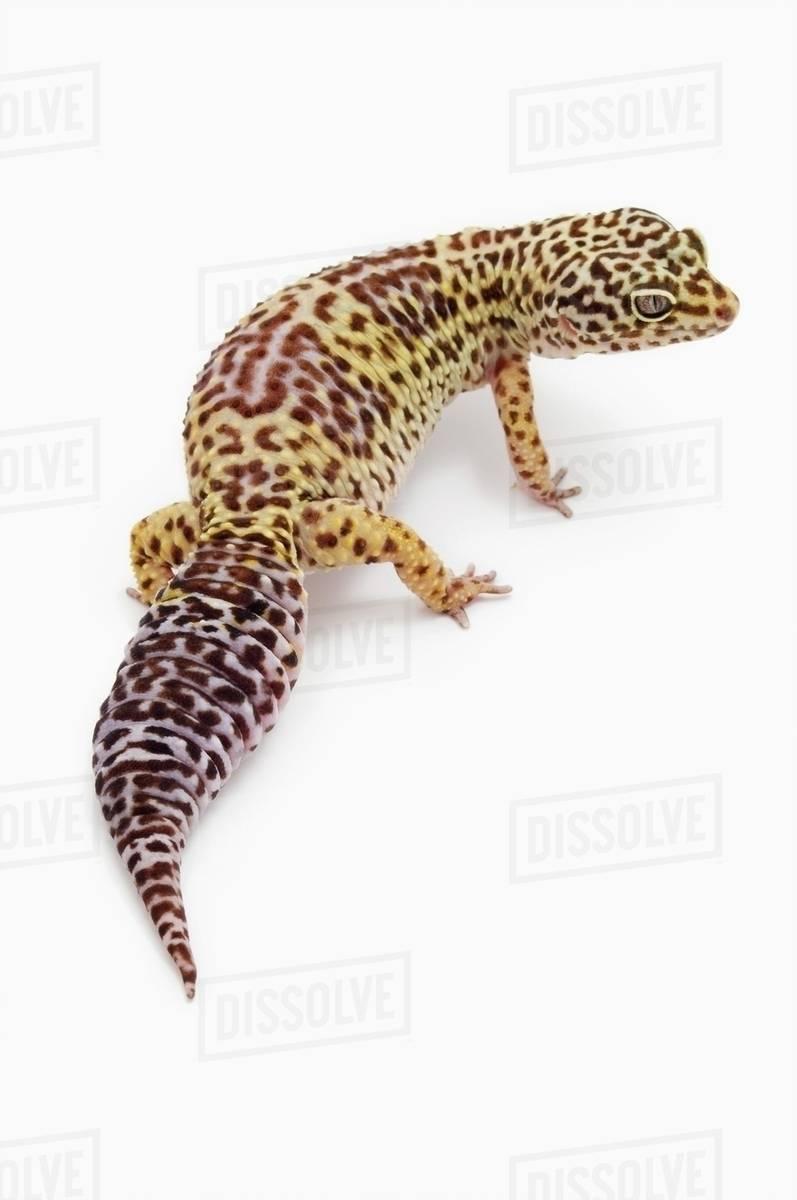 Leopard Gecko (Eublepharis Macularius); Alberta, Canada Royalty-free stock photo