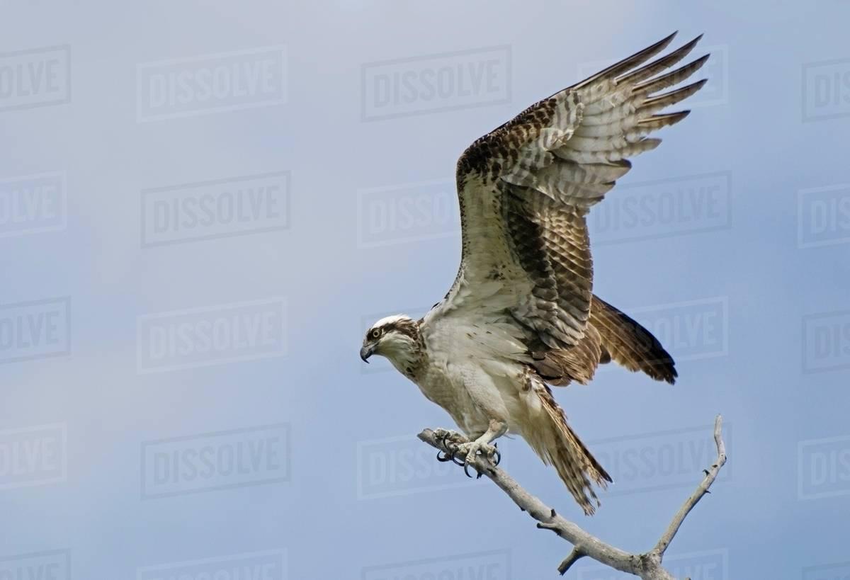 Osprey (Pandion Haliaetus) On A Tree Branch; Calgary, Alberta, Canada Royalty-free stock photo