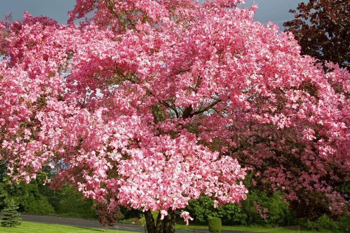 Spring Dogwood Tree Stock Photo Dissolve