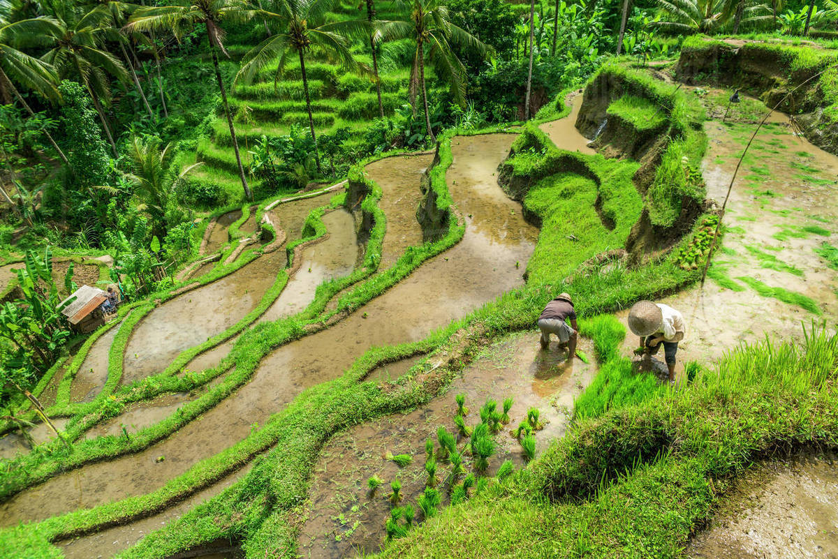 Farmers Working On Rice Terraces Near Ubud Tegallalang Bali