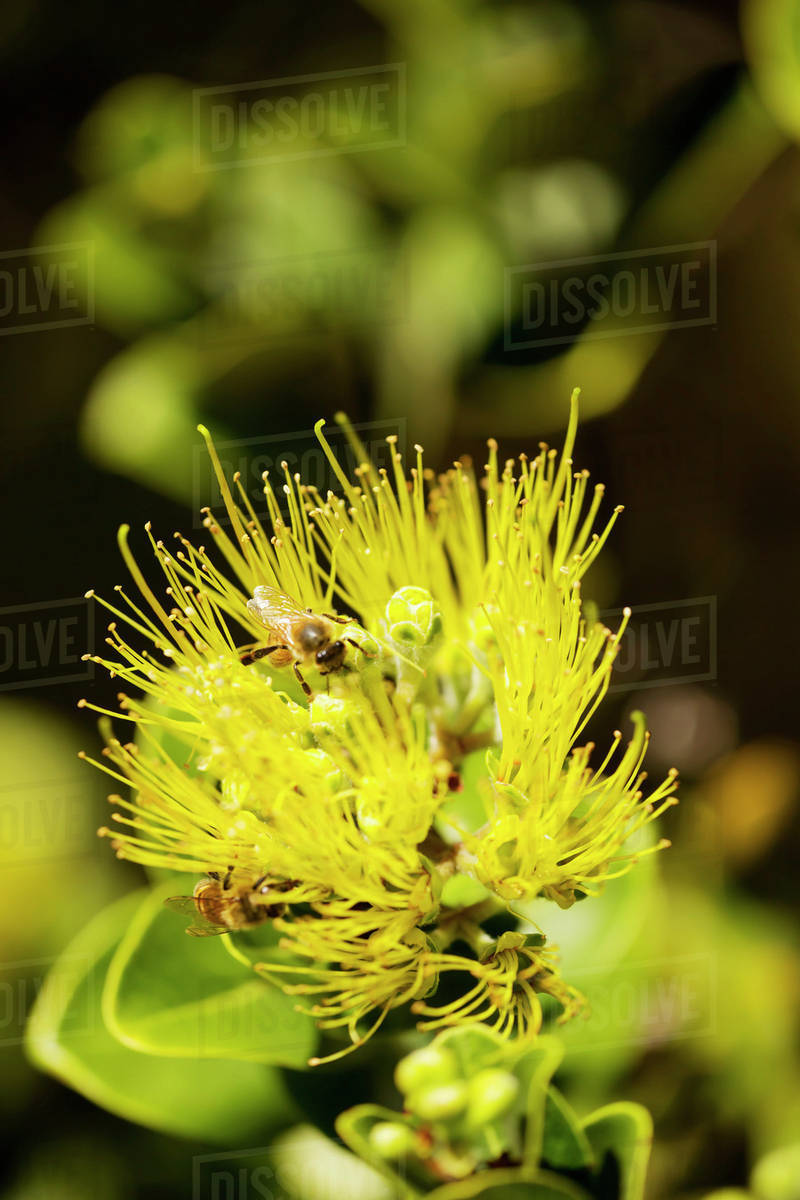 Bees polinating Yellow Ohia Lehua blossom (Metrosideros polymorpha); Maui, Hawaii, United States of America
