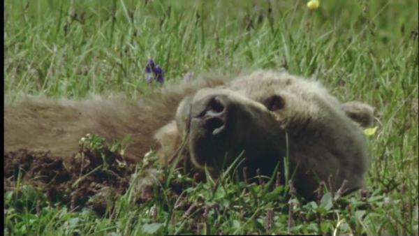Medium shot of a Grizzly bear sleeping in a field in the Denali National Park, Alaska Royalty-free stock video