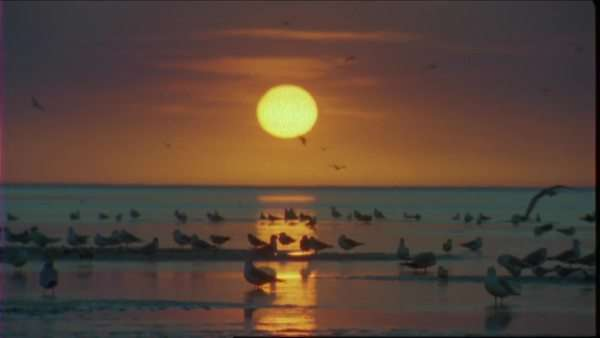 Wide shot of a gull flock on a coast at sunset Royalty-free stock video