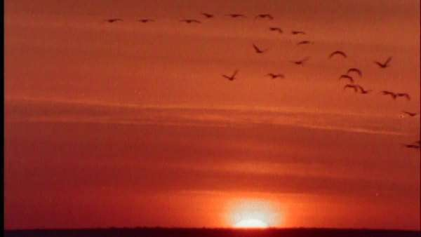 Extreme wide shot of sandhill cranes in flight at sunset Royalty-free stock video