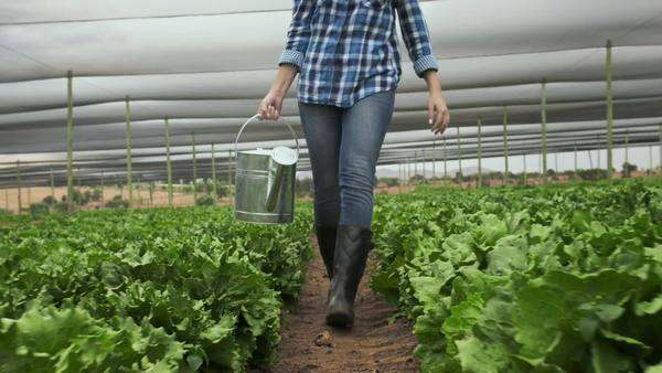Happy farmer woman walking with watering can on her lettuce farm. Royalty-free stock video