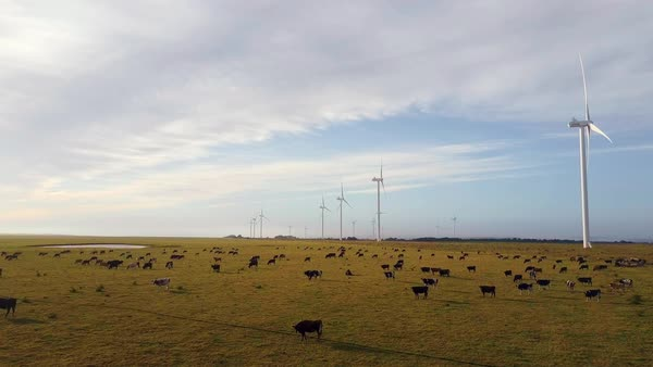 Cow farm flyover with wind farm in the background Royalty-free stock video