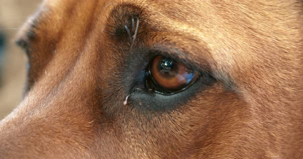 Brown dog ridgeback with fur and eyes on face of animal Royalty-free stock video