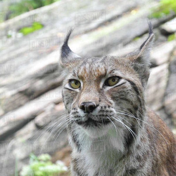 Close up of lynx staring Royalty-free stock photo