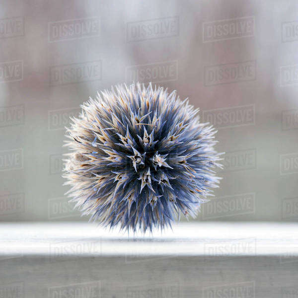 Selective focus of Globe Thistle Royalty-free stock photo