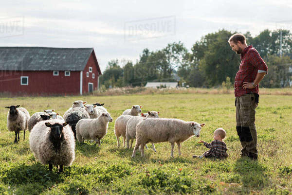 Father looking at daughter playing with sheep on field at farm Royalty-free stock photo