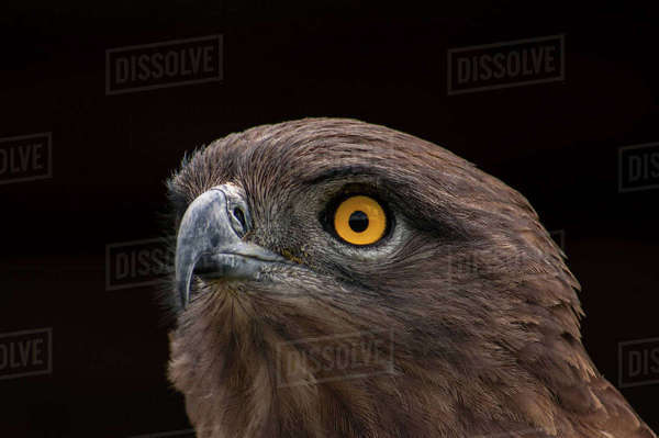Brown Snake Eagle, Pietermaritzburg, South Africa Royalty-free stock photo