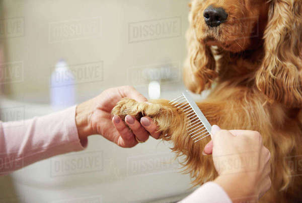 Hands of female groomer combing cocker spaniel's paw at dog grooming salon Royalty-free stock photo